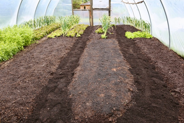No dig polytunnel, mulched with compost