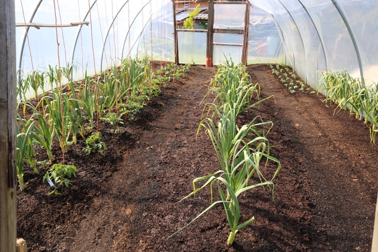 Polytunnel far end shows overwintered garlic