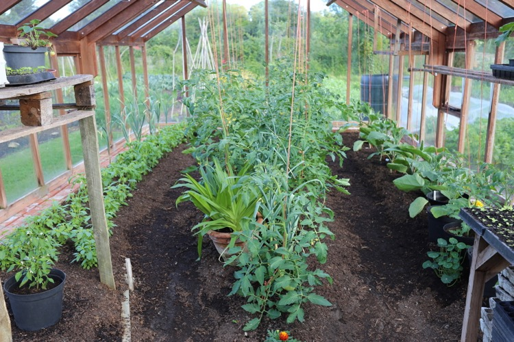 Tomato plants in greenhouse no dig
