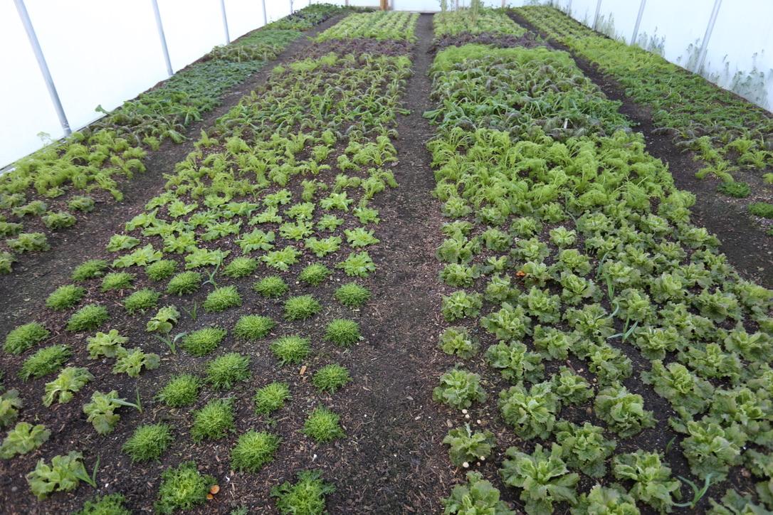 Frozen plants in polytunnel