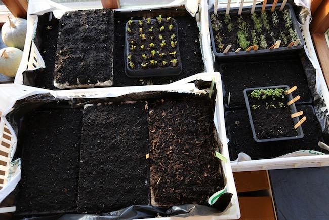 Germinating seedlings in trays in house