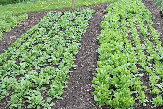 Healthy spinach direct sown in compost