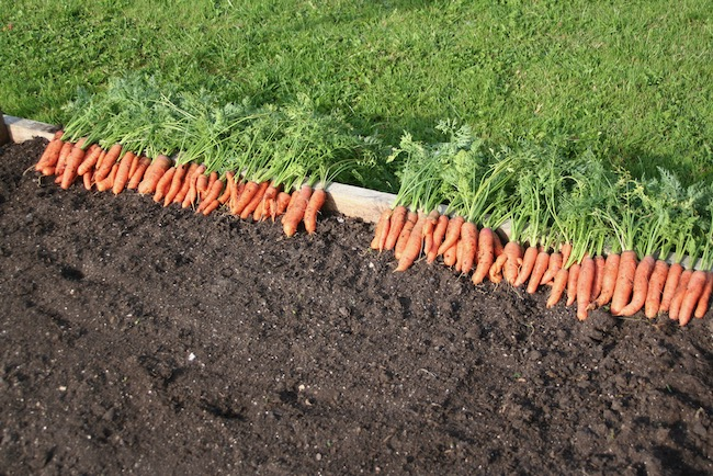 Carrots sown in compost, beautiful roots