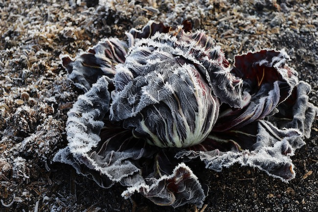 Radicchio in frost