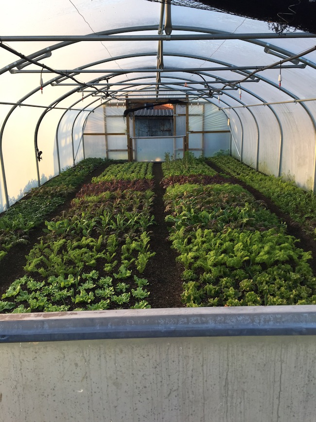Polytunnel salad plants midwinter