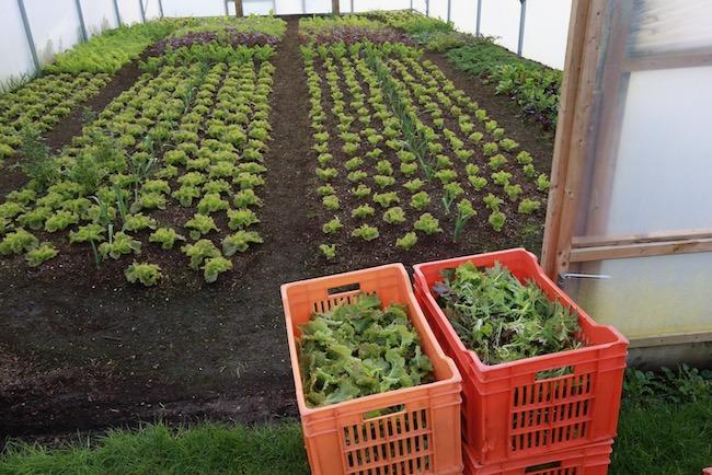 No dig harvest of salad by Charles Dowding method