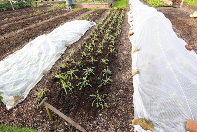 Wild rocket plants ready to transplant