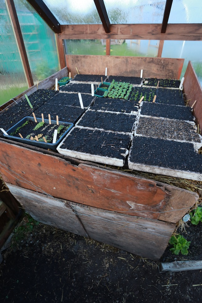 Newly sown trays on hotbed