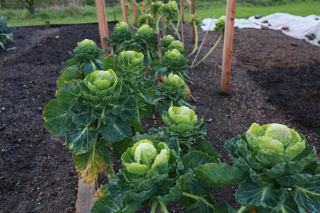Tasty tops of Brussels sprouts