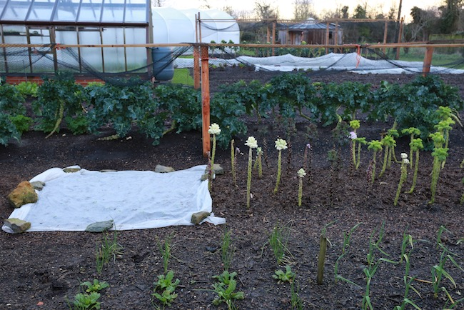 Homeacres view includes garlic, kale and broccoli overwintered