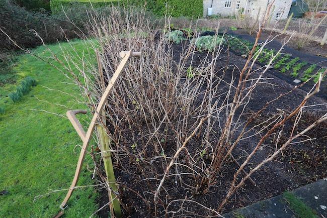 Before pruning autumn raspberries