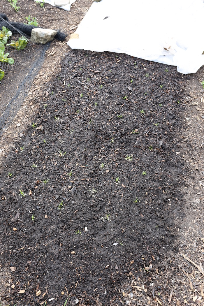 Carrot seedlings transplanted, not a success
