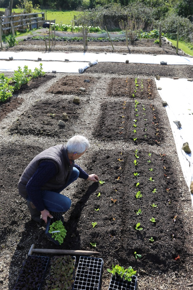 Charles transplanting lettuce into dibbed holes