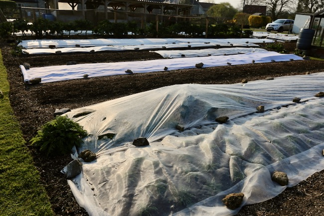 Fleece covers over new plantings