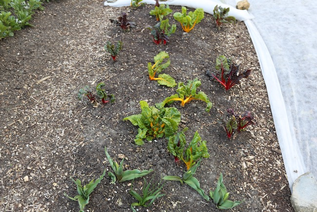 Chard sown last July