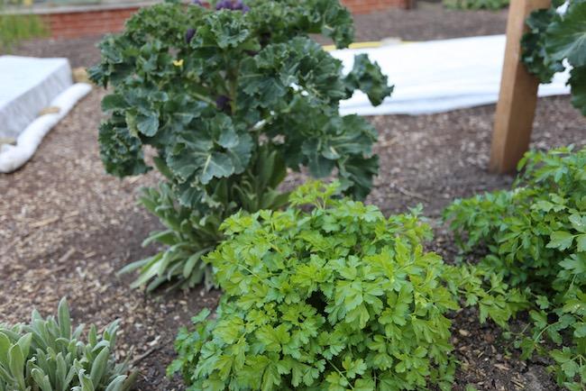 Broccoli interplanted parsley