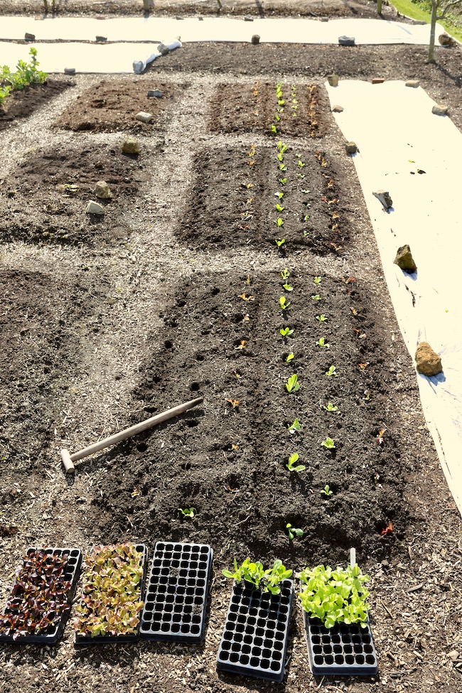 Beds ready for planting lettuce