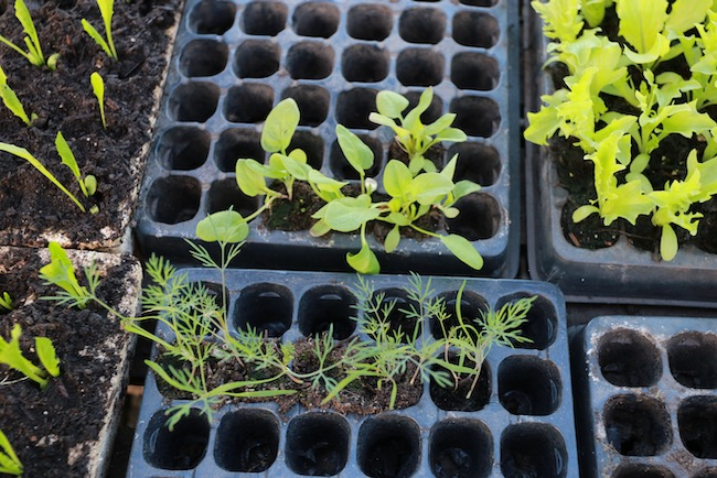 Dill, fennel and spinach seedlings
