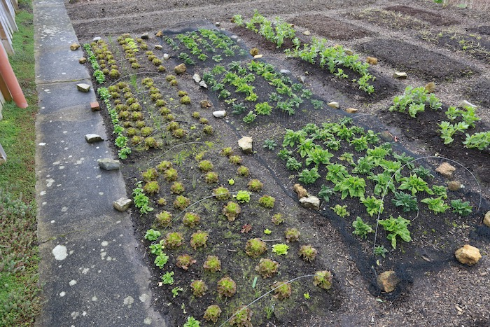 Overwintered vegetables in mid March
