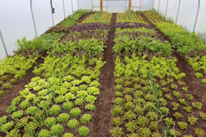 Salad plants polytunnel 6 months