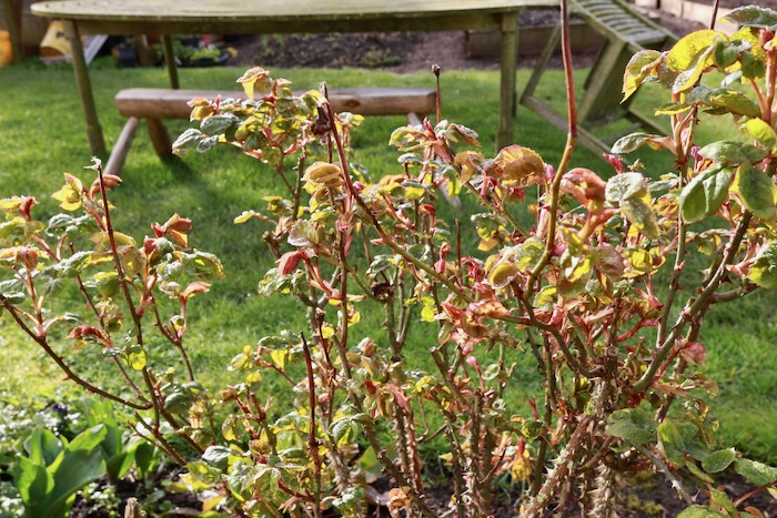 So many new leaves, my rose in mid March