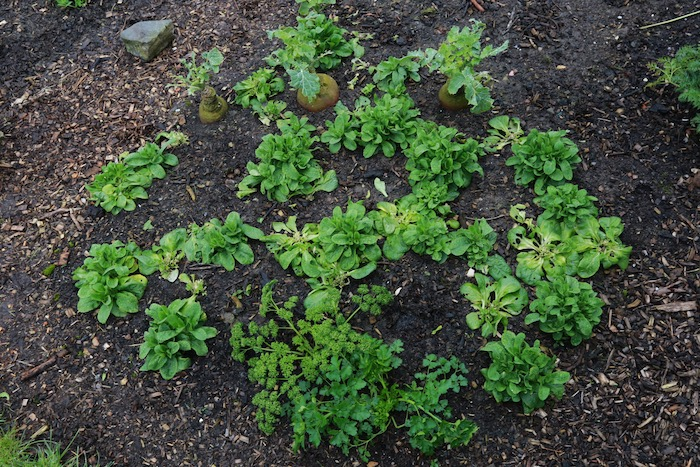Interplant of lambs lettuce between swede