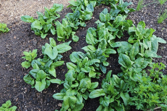 Spinach from the parent seed, shows variations