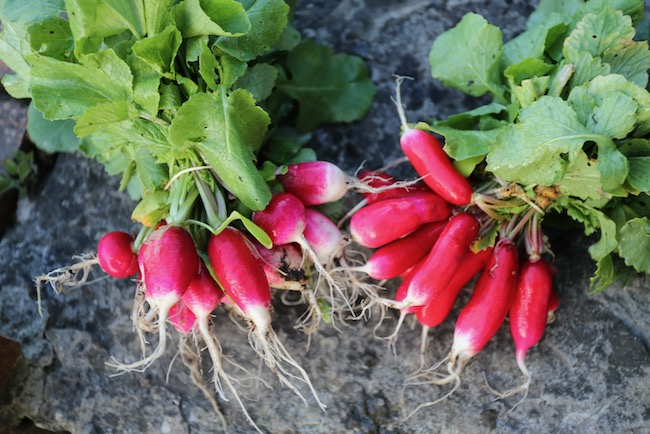 Variable quality of radish seed