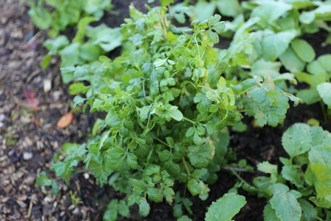 Overwintered coriander outside