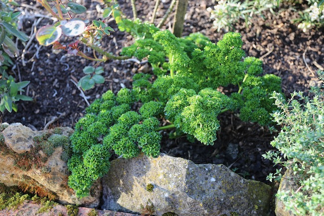 Curled parsley overwintered outside