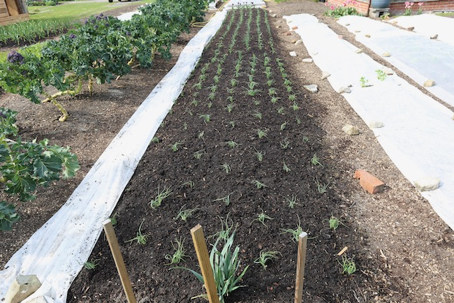Same onion bed after removing cover to check