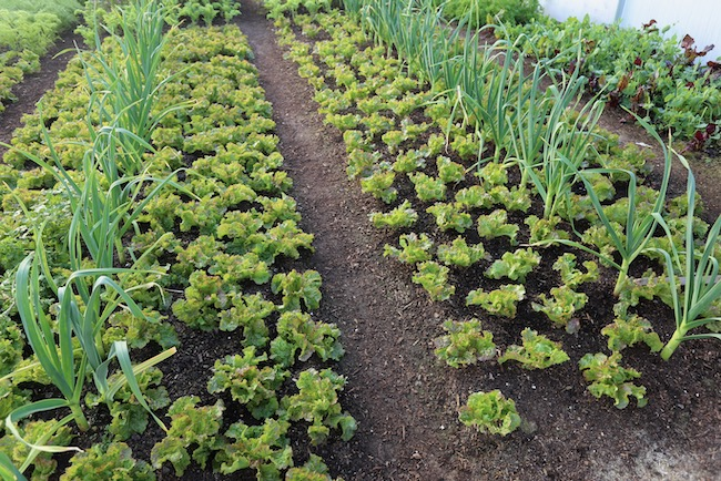 Polytunnel Grenoble Red lettuce picked 10-11 times