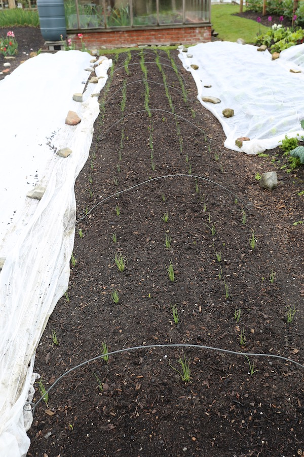 Multisown onions just transplanted