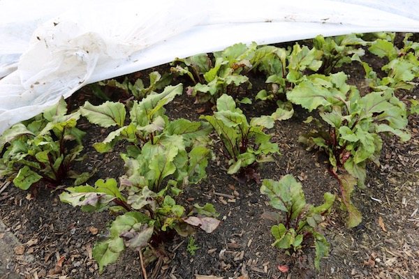 Beetroot under cover no pests