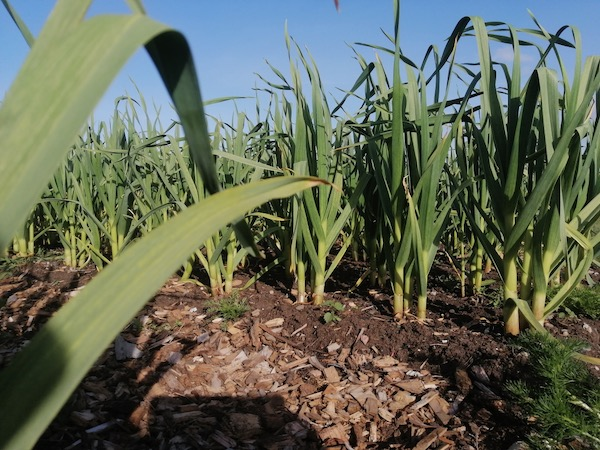 No dig soil Inverness, garlic planted December