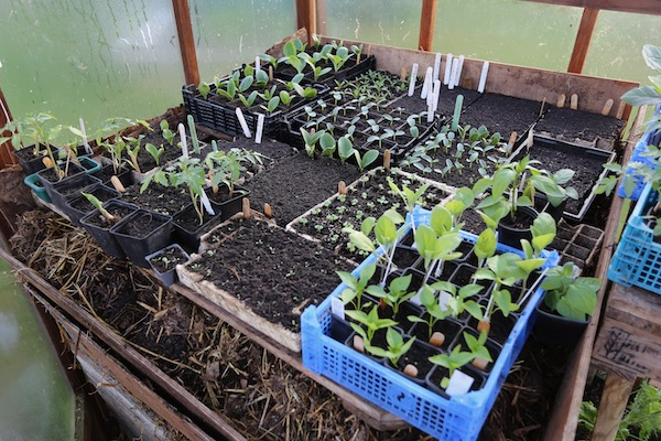 Plants being warmed by the manure late April