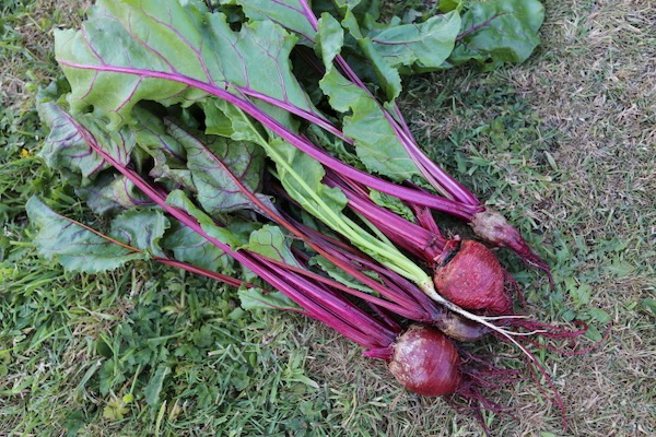 Variable roots of beetroots same seed packet