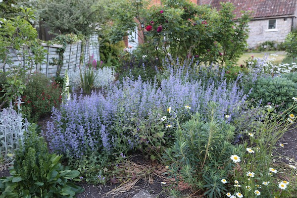 Homeacres catmint in front garden
