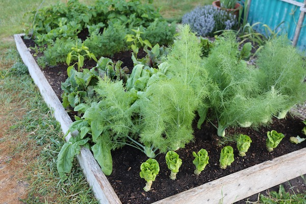 Companion planting with fennel