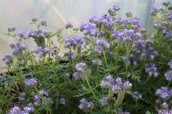 Phacelia flowers with many bees