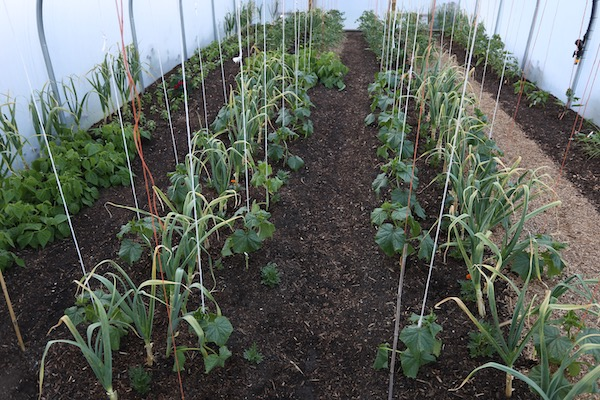 polytunnel cucumbers and mulch