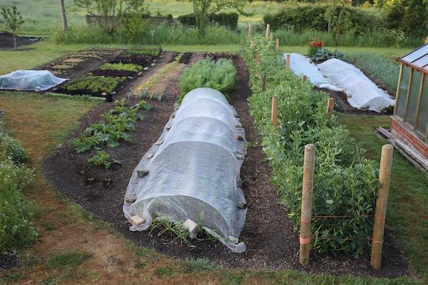 No dig garden, beans cropping