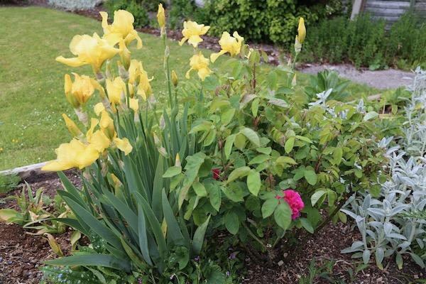 Perennial iris and Rosa de Hecht
