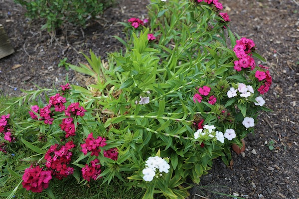 Sweet William survived since last summer
