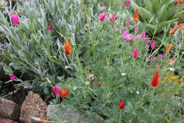 Escholzia or California poppy