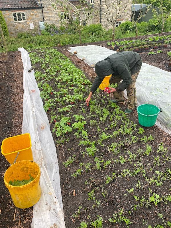 Pulling intersown radish