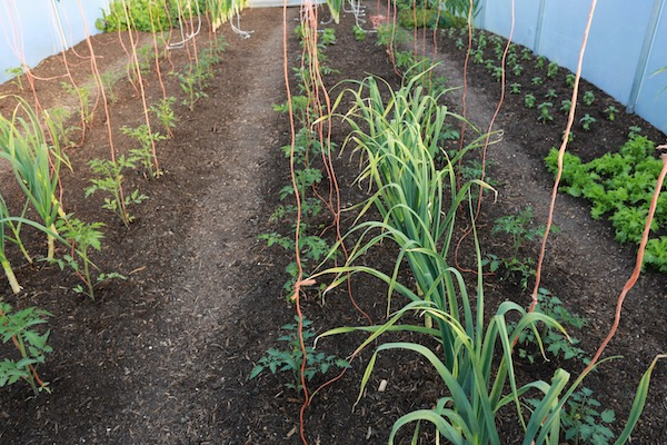 Newly planted tomatoes polytunnel