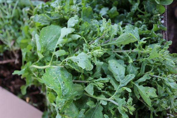 Flea beetle holes on outdoor growing salad rocket