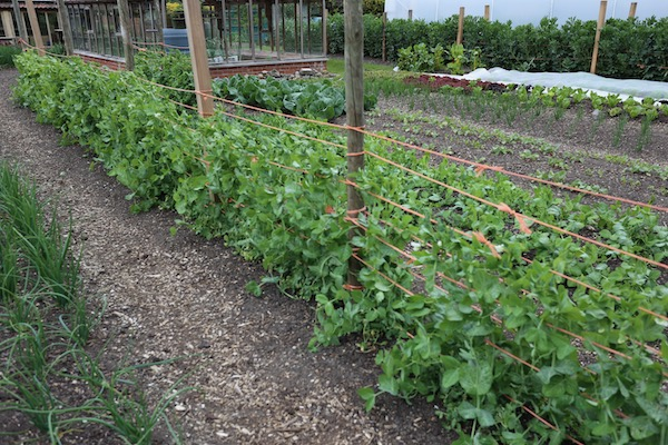 Stake and string supports for tall peas