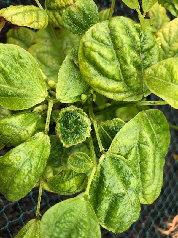 Poisoned potato plant